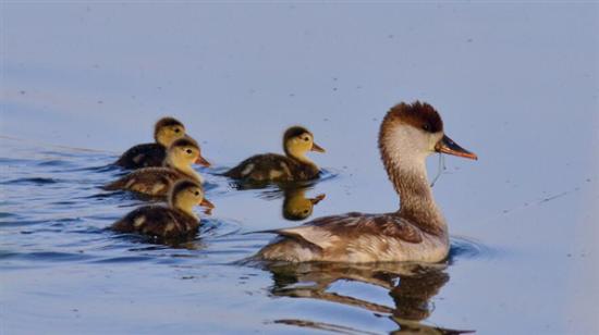 图为鸭子和它们的雏鸟。