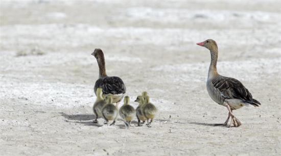 图为灰雁和它们的雏鸟。