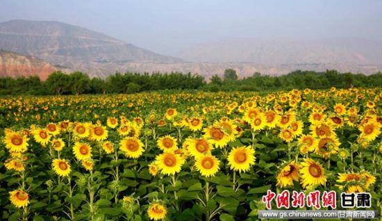 图为盛开的向日葵。