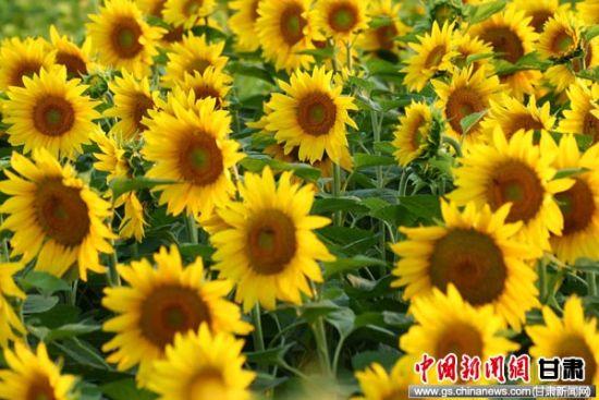 图为向日葵盛开遍野金黄。通讯员 侯奇志 摄