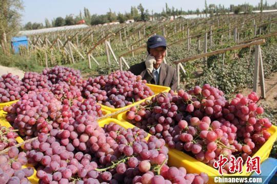 资料图。图为敦煌市莫高镇苏家堡村民将红地球葡萄装车拉运到市场上销售。 张晓亮 摄