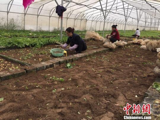 图为红古现代有机观光农业示范区的马铃薯种植基地收获景象。 徐雪 摄
