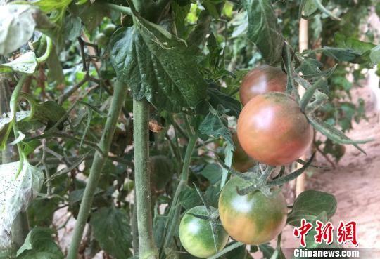 图为农民种植的黑番茄。 刘玉桃 摄