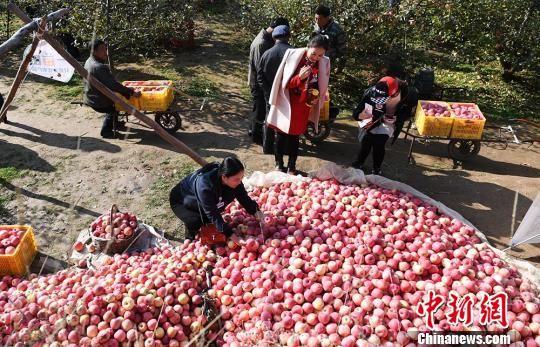 清水县苹果有40多个品种,尤以红星、红冠、超红、首红、红富士等质优量大,是驰名中外的天水花牛苹果重点产区之一。 杨艳敏 摄
