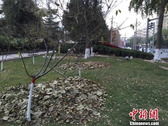 图为清扫成堆的落叶。 刘薛梅 摄