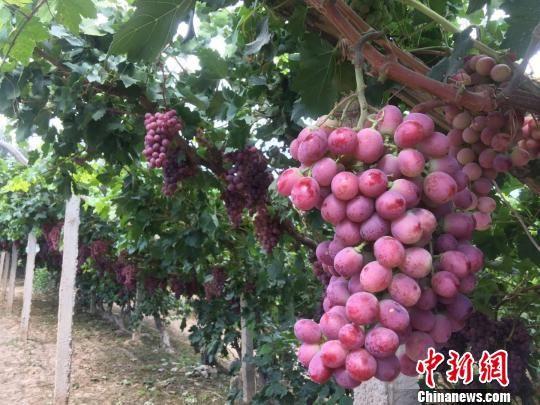 """""""葡萄美酒夜光杯,欲饮琵琶马上催""""。作为中国丝绸之路边塞古郡的敦煌,种植葡萄的历史可追溯至西汉时期。 刘玉桃 摄"""