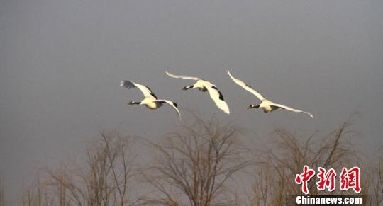 澳门金沙娱乐网址:甘肃戈壁湿地雪后初晴白鹤飞舞