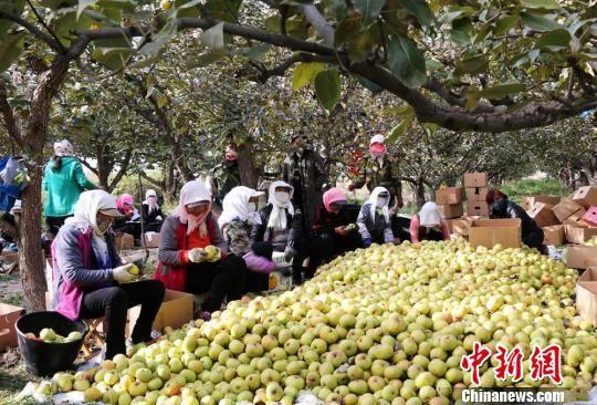 资料图。图为在甘肃张掖老寺庙农场里,工人们将刚刚采摘的苹果梨进行精选、包装。 钟欣 摄