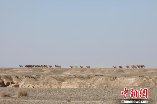 2018年2月24日,甘肃敦煌西湖国家级自然保护区工作人员在例行巡查时,在保护区疏勒河段与一个31峰的野骆驼大种群不期而遇,工作人员当即拍摄了难得的珍贵照片资料。 周春辉 摄