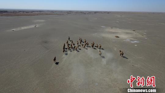 图为野骆驼大种群。 周春辉 摄