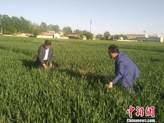 资料图。甘肃农科院小麦研究所研究员鲁清林和灵台县农技中心主任于建平在灵台县查看试验小麦抽穗情况。 奎旭辉 摄
