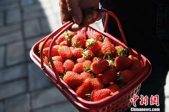 每日新摘的草莓供不应求。 杨艳敏 摄