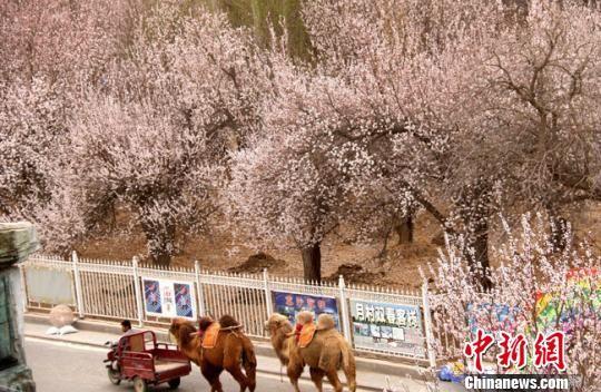 资料图:每年春暖花开季节,敦煌市月牙泉村成片的杏花开放,村民为游客拉骆驼赏杏花。 张晓亮 摄