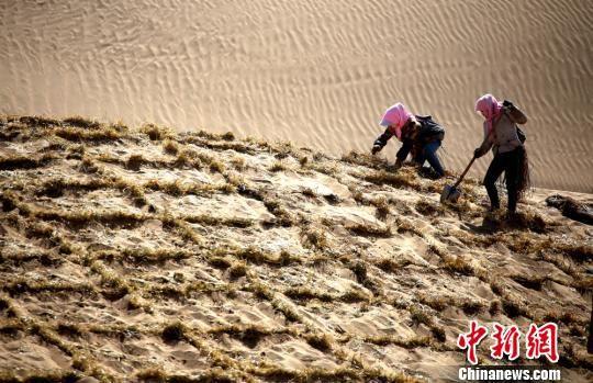 资料图:图为临泽县民众压设麦草沙障防沙治沙。 张渊 摄