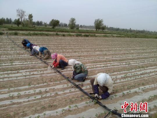 开春时节,甘肃敦煌市乡镇村民在田间安置滴灌带。 钟欣 摄