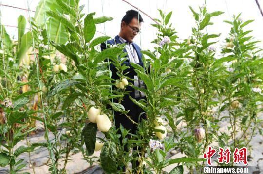 图为30岁的甘肃张掖市临泽县返乡创业青年安星,在一年四季都郁郁葱葱的日光大棚里忙碌。 杨艳敏 摄