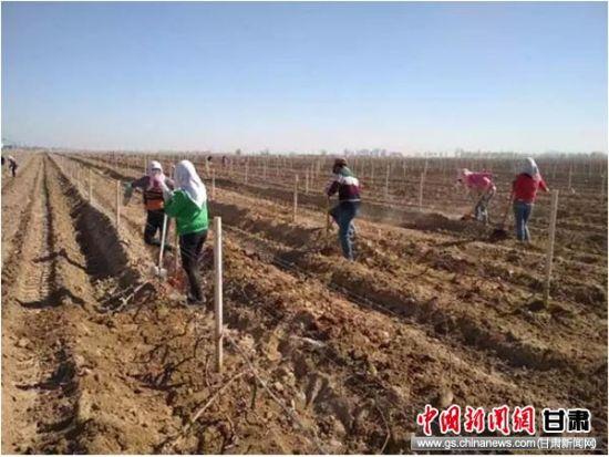 农行武威民勤县支行贷款支持的夹河乡新林千亩葡萄示范长廊。