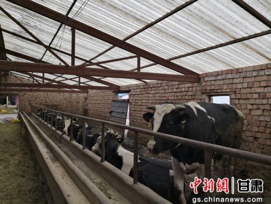 图为养殖场饲养的肉牛。