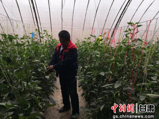 图为教场村村民李翻龙在检查大棚里辣椒的长势。作为经营大户,他经营了12个蔬菜大棚,加入了当地的种植合作社,帮助周边村民脱贫。