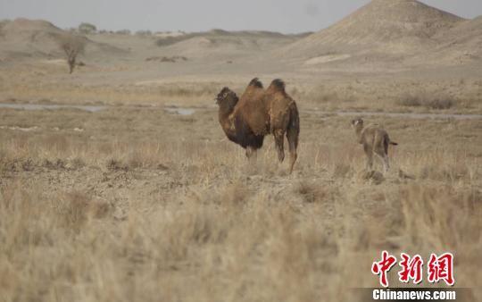 """图为野骆驼""""扬扬""""带着她的""""驼宝宝""""。 何东 摄"""