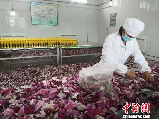 近年来,临洮县将牡丹深加工,开发出了牡丹酒、牡丹醋等一系列产品。图为酒厂工人正在挑拣牡丹花瓣。 杜萍 摄