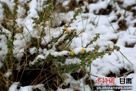 图为白雪下盛开的野花。陈礼 摄
