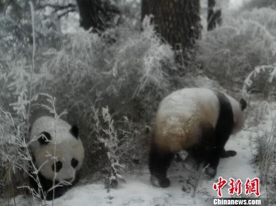 """图为野生大熊猫""""抢镜""""。 甘肃白水江国家级自然保护区 摄"""