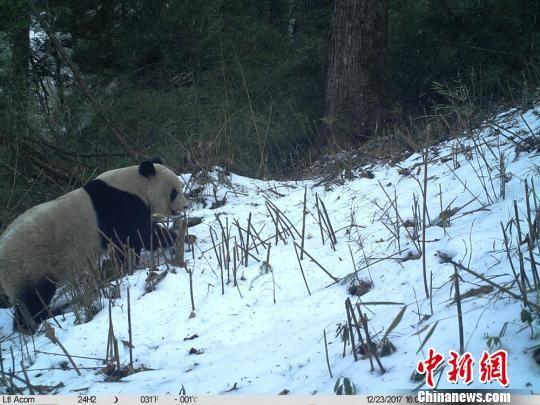 图为红外相机拍摄到的野生大熊猫。 甘肃白水江国家级自然保护区 摄