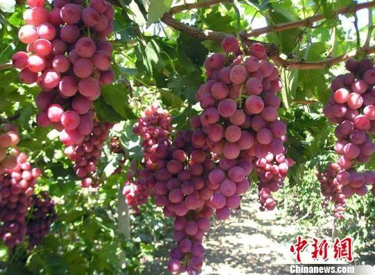 图为敦煌葡萄。(资料图) 南如卓玛 摄