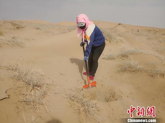 图为2018南5月上旬,民勤沙漠上压沙的女人。 南如卓玛 摄