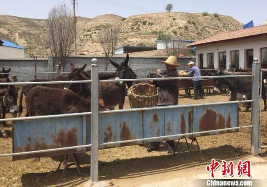 甘肃兰州市榆中县大涝池村的梁生财正在给肉驴添加草料。 牛海龙 摄