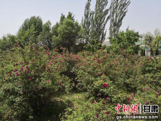 图为永登县苦水镇成片种植的玫瑰花。 杜萍 摄