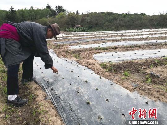 """图为57岁的藏族老人大才老在藜麦田里,仔细查看庄稼的长势。对于第一次种植藜麦的村民们,如何规模化种植,怎样防治病虫害,是围绕他们的""""困局""""。 史静静 摄"""