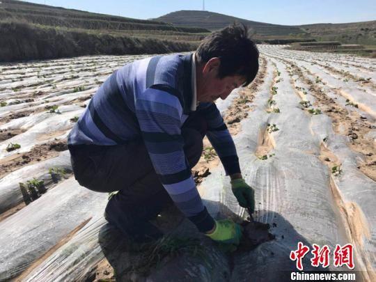 甘肃天水市武山县桦林镇寨子村农民闫福龙正在查看架豆生长情况。 艾庆龙 摄