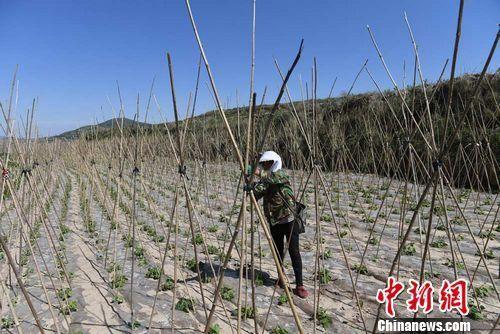 图为武山县桦林镇寨子村村民打理种植的架豆。杨艳敏 摄