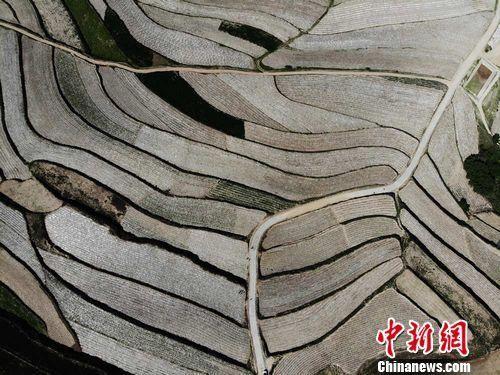 航拍镜头下武山县桦林镇寨子村种植的架豆面积已初具规模。杨艳敏 摄