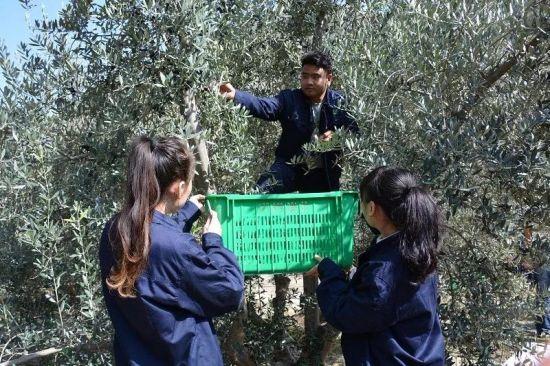 手工采摘油橄榄鲜果。