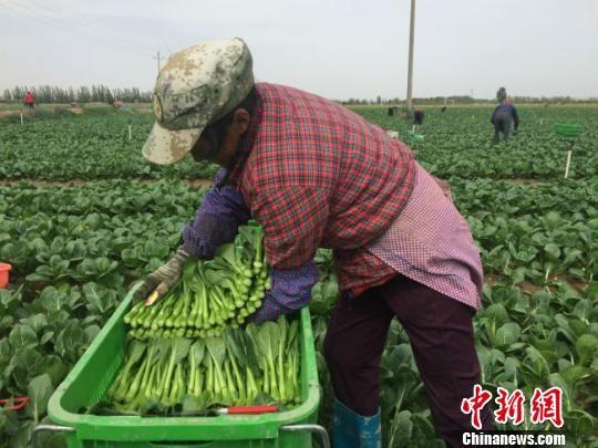 图为工人们正在按照要求采收蔬菜。 郭蓉 摄