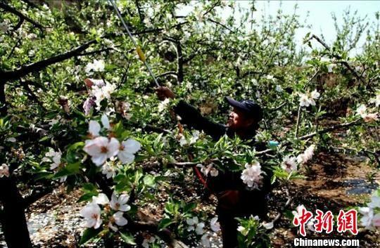 图为甘肃清水县果农正在为苹果树喷洒营养液。(资料图) 贾国江 摄