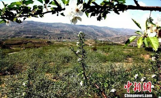 自从清水县大面积发展苹果产业以来,许多村民都选择种果树,有果树的家庭,90%都不是贫困户。(资料图) 贾国江 摄