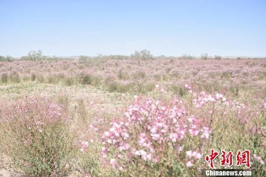 图为瓜州县锁阳城草原野麻盛开。 魏金龙 摄