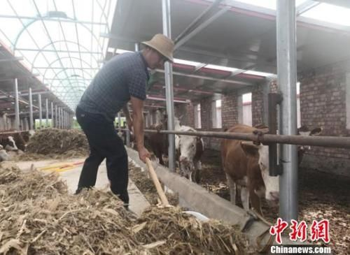 送体验机无需申请临夏州广河县三甲集镇上集村村民马建云返乡后,在该村牛羊养殖农民合作社从事养护母牛工作,每月可获得4000多元工资。图为马建云给母牛添加饲料。艾庆龙 摄