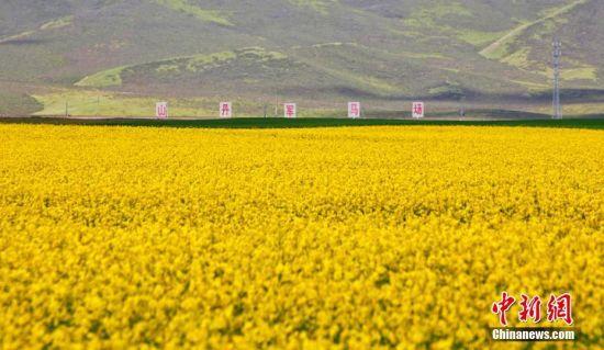 甘肃河西走廊中部祁连山下的山丹马场正是油菜花盛开的季节。王超 摄
