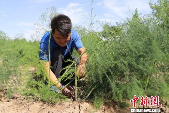 """盛夏时节,在甘肃武威市民勤县更名村的芦笋种植基地里,""""80后""""陈胜泰挎着篮子,拿着剪刀,沿着垄沟,在芦笋田里穿梭忙碌。马爱彬 摄"""