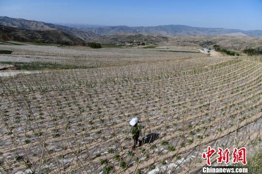 架豆产业被天水市武山县选作精准脱贫产业之一,在山区广泛推广,目前种植面积达5万亩。图为2018年5月拍摄的架豆种植场景。(资料图) 杨艳敏 摄
