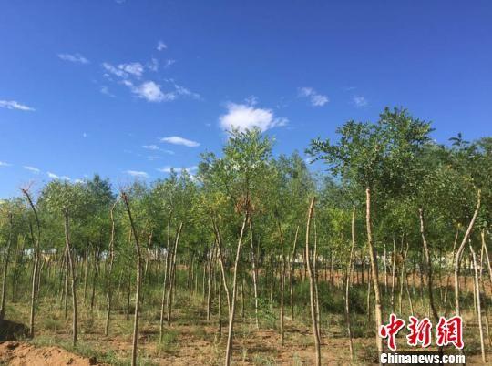 """金水源""""丝路驿站""""沙漠绿色景区中有超过150万株松树、国槐成活,成为沙漠中植树的一道风景。 侯志雄 摄"""