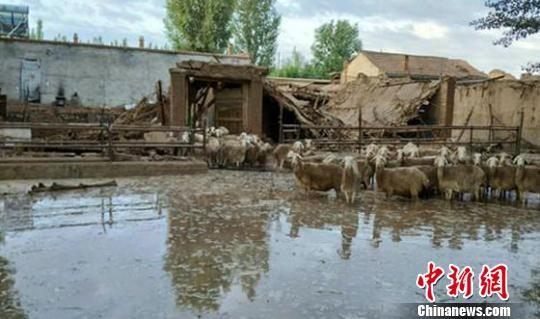"""8月21日,张掖市临泽平川镇,强降雨导致当地内涝严重,部分房屋垮塌,成群牲畜""""无家可归""""。 杨易诚 摄"""