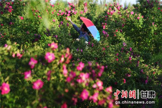 图为游客在兰州新区玫瑰产业园赏花。杨艳敏 摄