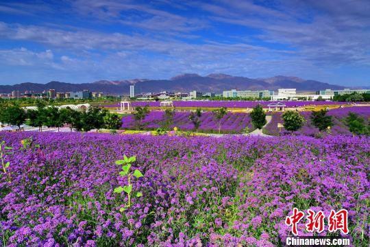金昌市戈壁上长出一片片薰衣草、郁金香等花卉。 王永松 摄