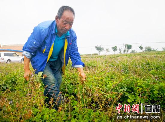 毛庄村村民张永峰在药材地里除草。 高展 摄